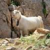 Коза в горах