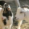 Коза с козлом